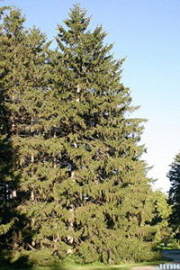 A thumbnail image of a Norway Spruce tree