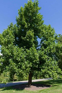 A thumbnail image of an American Tulip Tree