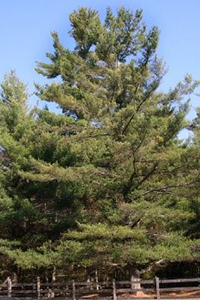 A thumbnail image of a White Pine tree